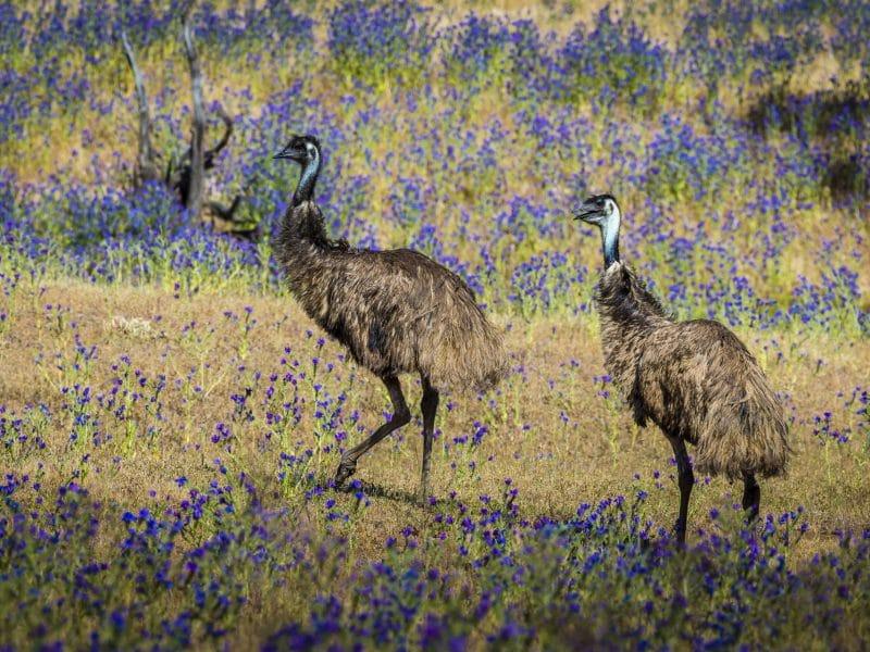 roaming free arkaba emus